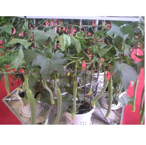 盆栽西葫芦种植方法图解